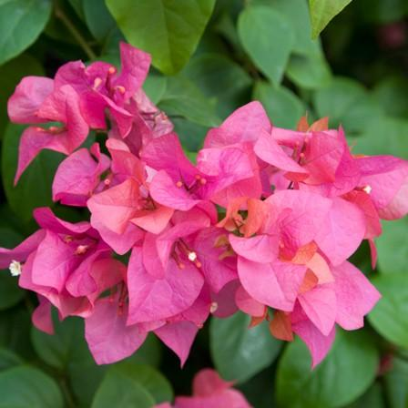 Image of Bougainvillea