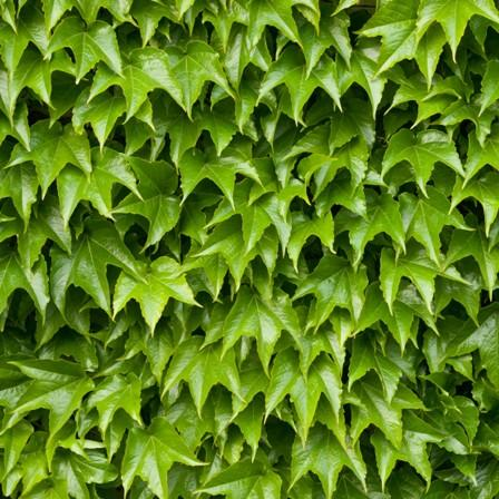 Image of Boston Ivy