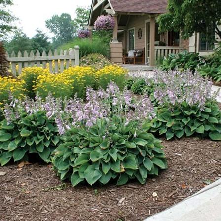 Image of Hosta