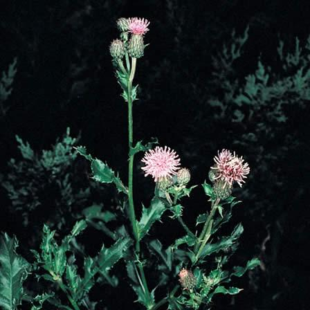 Image of Thistle - Hardscapes