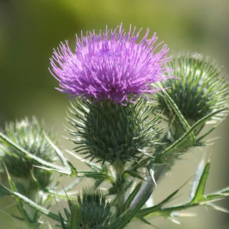 Image of Bull Thistle