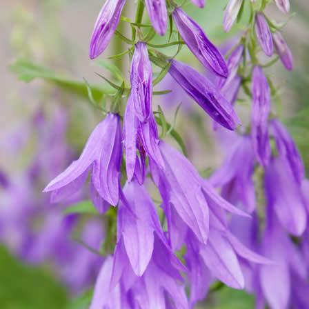 Image of Creeping Bellflower