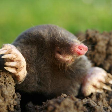 Image of Moles - Lawn and Garden