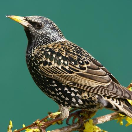 Image of Starling