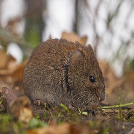 Image of Voles