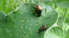 Japanese Beetles Image 1